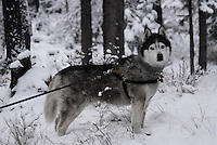 Lakota Sunrise aka Koty Bear getting his first taste of Montana winter 2010 photos of siberian huskies, husky photos, pictures of siberian huskies, best photos of huskies, best photos of siberian huskies