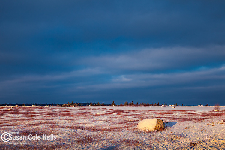 Snow-covered blueberry barrens in Jonesport, ME, USA