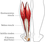 This stock medical illustration identifies the achilles tendon, soleus muscle, gastrocnemius muscle, and calcaneal bone of the foot in a posterior view. This anatomy is shown within a simple line drawing of the lower legs to orient the viewer.