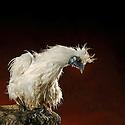 14/09/07 - RANDAN - PUY DE DOME - FRANCE - Poule Negre Soie Blanche. Elevage de Sophie CHALARD, Le Clos d Eole - Photo Jerome CHABANNE