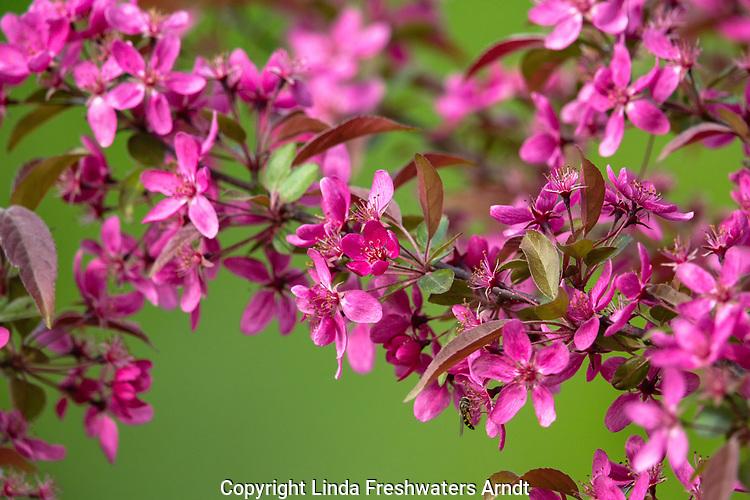 Purple prince flowering crab apple tree