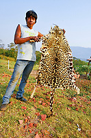 Amerindian farmer showing the skin of a jaguar (Panthera onca) which he killed, Bolivia, South America