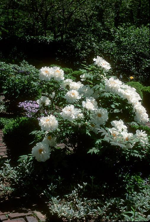 Peony Renkaku suffruticosa tree peonies in flower in May