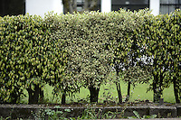 BOGOTÁ-COLOMBIA- Arbusto decorativo Ficus benajmina./ Ficus benjamina decorative bush.   Photo: VizzorImage/STR