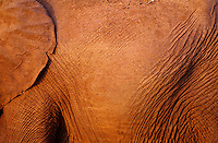 African Elephant skin or hide (Loxodonta Africana) Africa.