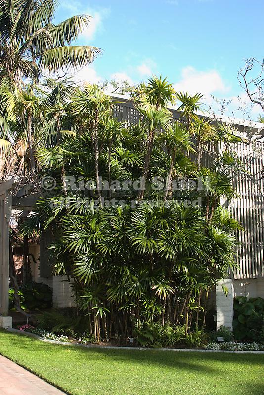 Rattan Palm, Rhapis humilis, mature specimen beside shade house, at Corona Del Mar CA USA