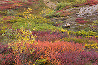 Grizzly bear sow forages for berries on the tundra in Sable Pass, Denali National Park, Interior, Alaska.