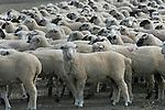A heard of sheep in the Delta region of California.