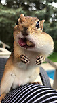 Van Gogh the Chipmunk stuffs its face by Ally Calmusky