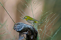 Japanese White-eye (Zosterops japonicus)  An introduced bird now the mosrt common alien bird in Hawaii.  Found on all the major islands.
