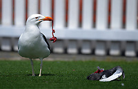 A seagull has lunch during day two of the Plunket Shield match between the Wellington Firebirds and Canterbury at Basin Reserve in Wellington, New Zealand on Tuesday, 20 October 2020. Photo: Dave Lintott / lintottphoto.co.nz