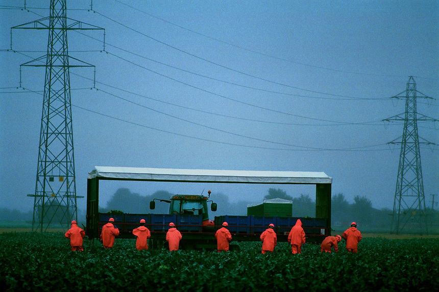 Agricultural workers harvesting cabbages during a storm, Boston,Lincolnshire, UK.