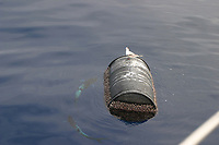 bird, roseate tern, Sterna dougallii, resting empty barrel, with dolphin fish or dorado or mahi mahi below, Coryphaena hippurus, Azores Island, Portugal, North Atlantic