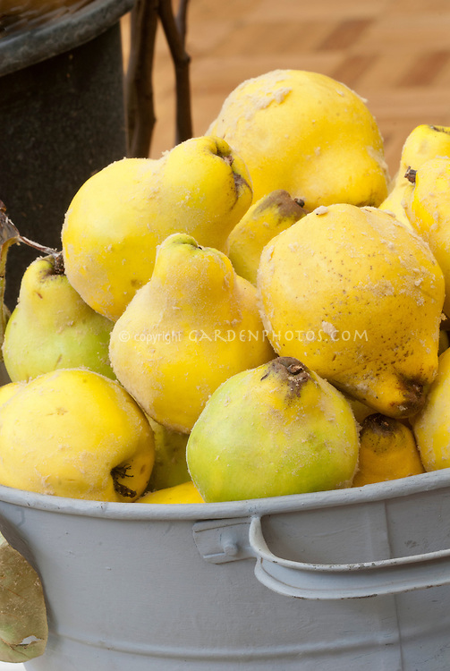 Galvanized bucket of quince fruits Cydonia oblonga harvested picked crops