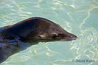 0406-1004  California Sea Lion Swimming, Zalophus californianus  © David Kuhn/Dwight Kuhn Photography.