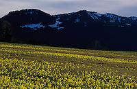 Oxlip, Primrose, Primula elatior, blooming in wetland, Oberaegeri, Zug, Switzerland