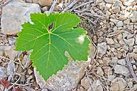 Vine leaf. Mas Montel, Sommieres, Languedoc, France