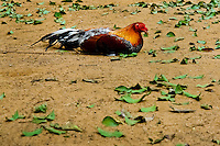 A cockfighting rooster sleeps in the breeding station in Cucuta, Colombia, 1 May 2006. Cockfight is a widely popular and legal sporting event in Colombia. People take advantage of cock's natural, strong will to fight. Birds are specially trained to increase their aggression, stamina and to improve their fighting techniques. They are given the best of food, care and sometimes even a doping, basically in the same way like professional athletes are. Brave cocks are highly treasured. If a fighting cock wins certain number of matches breeders keep him for reproduction and do not let him fight anymore.