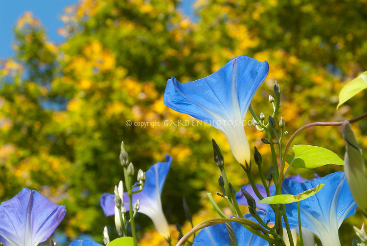 Ipomoea purpurea Heavenly Blue morning glory flower vine with blue blooms