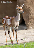 0529-1105  Lesser Kudu, Tragelaphus imberbis  © David Kuhn/Dwight Kuhn Photography