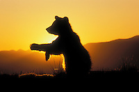 Grizzly Bear Cub, age 3 months, at sunrise swatting at insects..Spring. Rocky Mountains..(Ursus arctos).