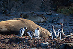 Gentoo Penguins & Elephant Seal