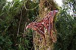 Male Hercules Moth (Coscinocera hercules) in montane rinforest. Recently emerged. Ambua Lodge, Tari, Hela Province, Papua New Guinea. June