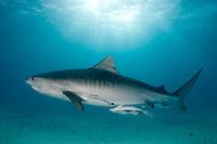 Tiger shark, Galeocerdo cuvier, Bahamas.