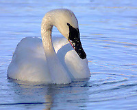 The Trumpeter Swan (Cygnus buccinator) mate for life.  Should one partner die long before the other, the surviving bird often will not mate again for some years, or even for its entire life. The nesting season starts at the end of May. The pair build the large mound-shaped nest from plant material at an elevated site near open water, and defend a large territory around it. The pen (female) lays and incubates a clutch of 2-7 (usually 3-5) eggs, watching for danger while sitting on the nest. The cob (male) keeps a steady lookout for potential predators heading towards his mate and offspring which are called cygnets once they have hatched. Madison River, Yellowstone.