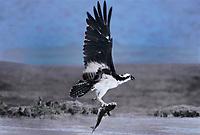 562059009 a wild osprey pandion haliaetus lifts off with fish prey along a beach at laguna atascosa national wildlife refuge on the south texas gulf coast