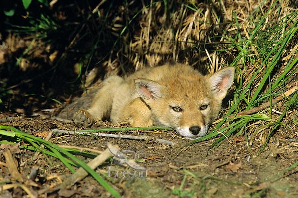 Wild Coyote (Canis latrans) pup reesting near densite.   Western U.S., June.
