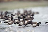 "Flock of Brant (Branta bernicla) of the ""Black"" subspecies B. b. nigricans on beach. Jefferson County, Washington. January."