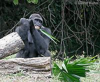0210-08pp  Feeding Western Lowland Gorilla, Gorilla gorilla gorilla © David Kuhn/Dwight Kuhn Photography