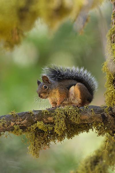 Douglas Squirrel (Tamiasciurus douglasii), Sequoia and Kings Canyon National Park, California, USA