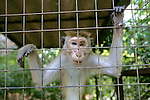 Toque Macaque With Loss Of Eye In Captivity