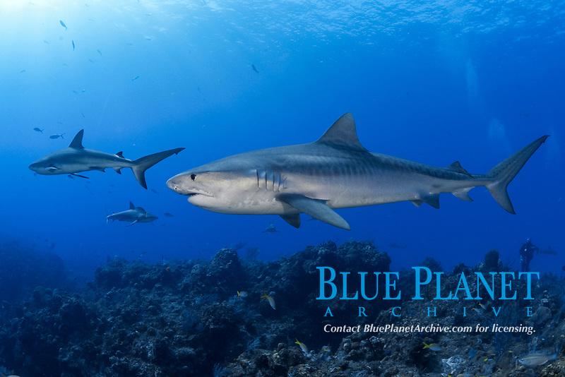 Tiger shark (Galeocerdo cuvier) and Caribbean reef shark (Carcharhinus perezii)