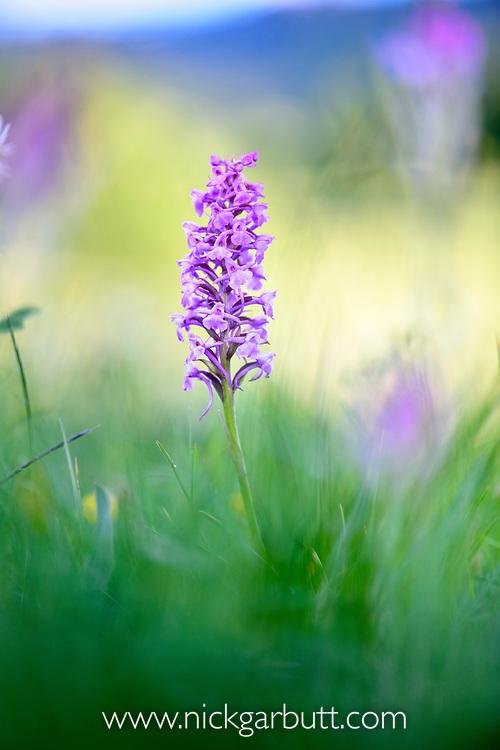 Mature broad-leaved marsh orchid<br />(Dactylorhiza majalis) flowering in ancient alpine meadow. Nordtirol, Austrian Alps. June.