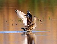 Black-tailed godwit after landing