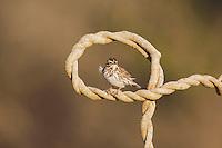 Savannah Sparrow (Passerculus sandwichensis), adult, Sinton, Corpus Christi, Coastal Bend, Texas, USA