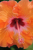 A close-up of an orange hibiscus blossom, Hawai'i.