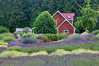 House and lavender field. Purple Haze Lavender Farm. Washington