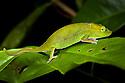 Short-nosed chameleon {Calumma gastrotaenia} photographed on leaf, tropical rainforest, Andasibe-Mantadia NP, Eastern Madagascar.