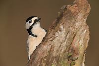 Buntspecht, Männchen bei der Nahrungssuche an einem Baumstamm, Bunt-Specht, Specht, Spechte, Dendrocopos major, Picoides major, Great spotted woodpecker, male