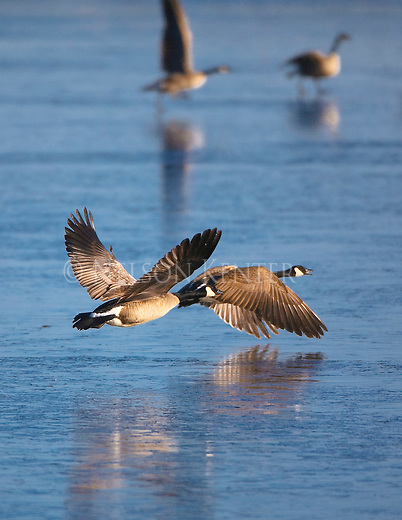 Canada Geese take flight over a frozen pond at the Lee Metcalf Wildlife Refuge in wester Montana