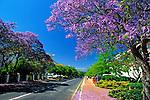 South Africa, near Cape Town, Winelands Stellenbosch: Jacaranda tree