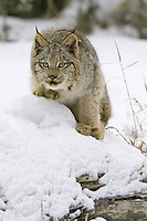 Canada Lynx watching intently from on top of a snow covered log - CA