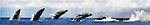 The Humpback Whale breaches off the Maui Coastline in the AuAu Channel on March 28,1997.Sequence photos 1- 6.© Debbie VanStory/RockinExposures.