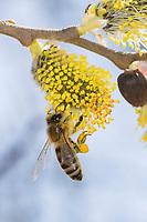 Honigbiene, Honig-Biene, Europäische Honigbiene, Westliche Honigbiene, Biene, Bienen, Apis mellifera, Apis mellifica, Blütenbesuch auf Weide, Salweide, Nektarsuche, Blütenbestäubung, Pollenhöschen, honey bee, hive bee, western honey bee, European honey bee, bee, bees, L'abeille européenne, l'avette, la mouche à miel