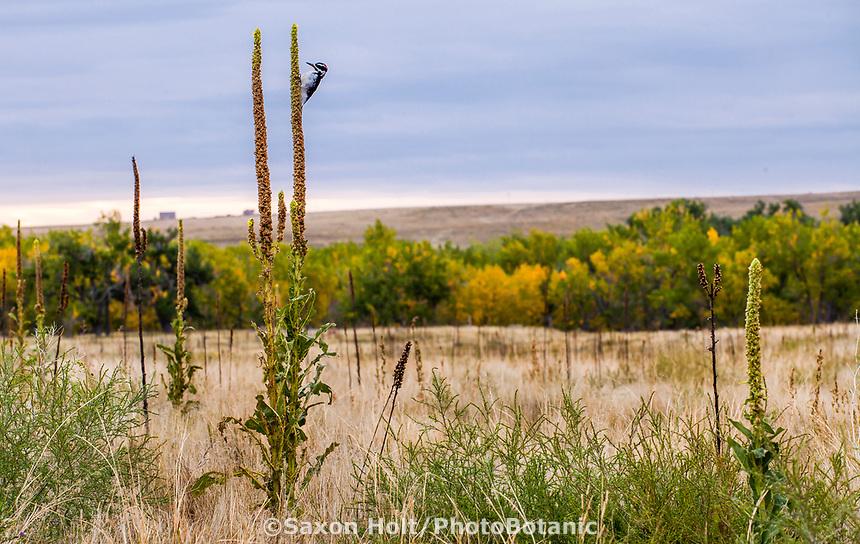 Bird feeding on Mullein seed head, Autumn landscape West Bijou Ranch, Strasburg Colorado; managed by Savory Institute,