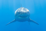 Guadalupe Island, Baja California, Mexico; a head on shot of a large, adult male Great White Shark (Carcharodon carcharias)